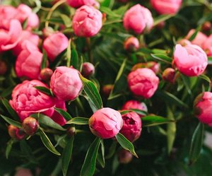 buds, flowers, and peonies image