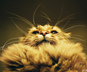 cat, confused, and fluffy image