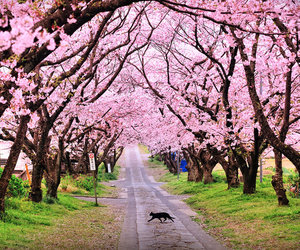 japan, cat, and cherry blossom image