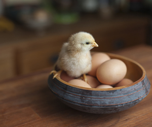 Chick and eggs image
