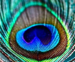 feather, peacock, and blue image
