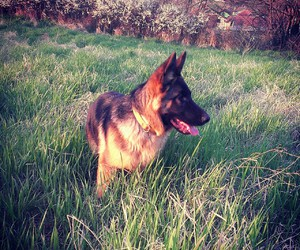dog, nature, and german shephard image