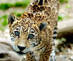 cute, animal, and jaguar image