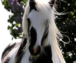 beautiful, gypsy, and gypsy vanner image