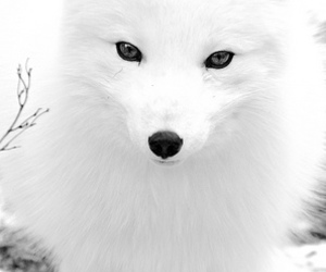 white, beautiful, and fox image