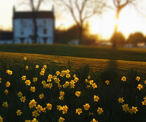 daffodils, flowers, and house image