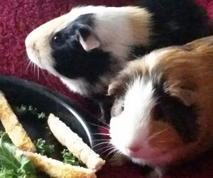 guinea pig, pets, and toast image