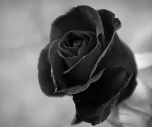 black, rose, and flower image