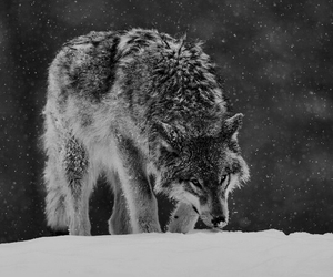 wolf, beautiful, and forest image