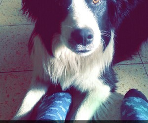 border collie, chien, and dog image