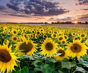 flower, flowers, and sunflower image