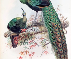 peacock and illustration image