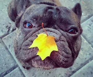 french bulldog, cute, and autumn image