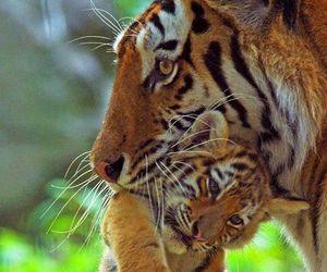 tiger, animal, and baby image