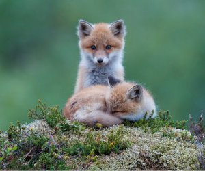 renard, annimaux, and cute image