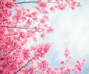sky, flowers, and sakura image