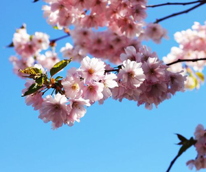 beautiful, cherry blossoms, and nature image