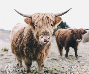 animals, countryside, and cow image