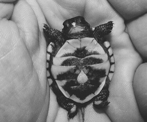 animal, black and white, and turtle image