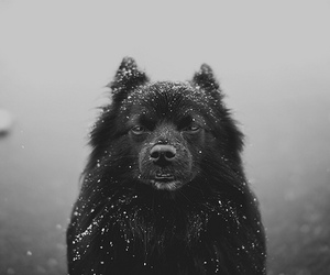 animals, black and white, and wolf image