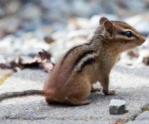 baby animals, chipmunk, and cute animals image
