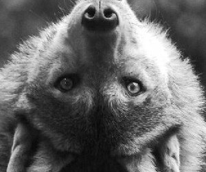 upside down, white and black fur, and cute wolf image