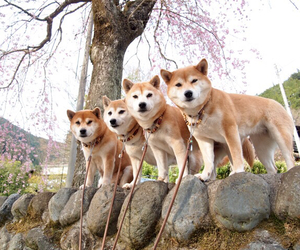 dog, pale, and shiba image