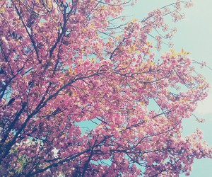 cerry, flowers, and pink image