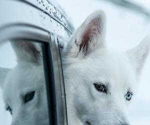 dog, white, and wolf image