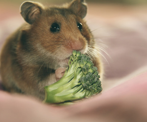 animal, food, and hamster image