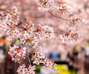 cherry blossom, japanese flowers, and wallpaper for iphone image