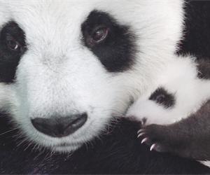 amazing, panda, and cute image