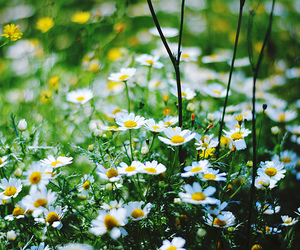 daisy, flowers, and beautiful image