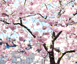 cherry, flowers, and pink image