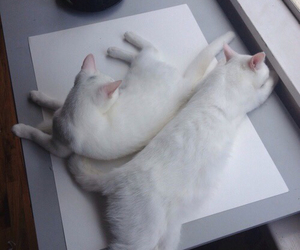 cat, white, and grunge image
