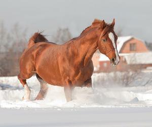 cavallo, horse, and snow image