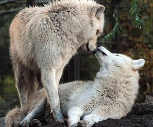cute animals, nature, and lobos image