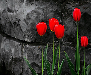 tulips and red image