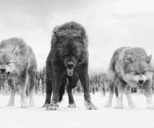 wolf and twilight image