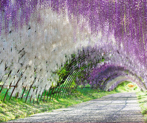 flower, wisteria, and kletterpflanze image