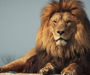 animals, lion king, and beauty image