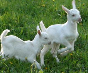 baby animals, goats, and goat image