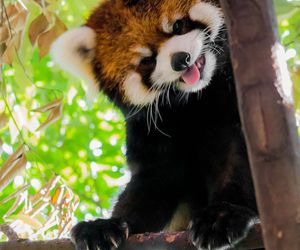 animal, panda, and Red panda image