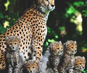 animal and cheetah image