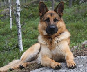 dog, animals, and german shepherd image
