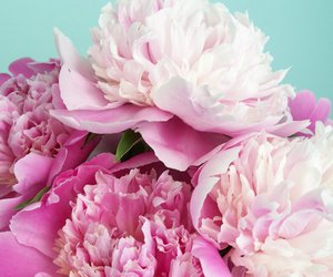 pink, flowers, and peonies image