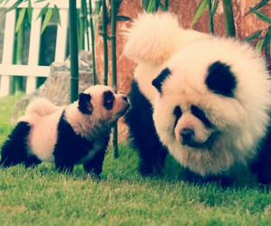 dog, panda, and animal image