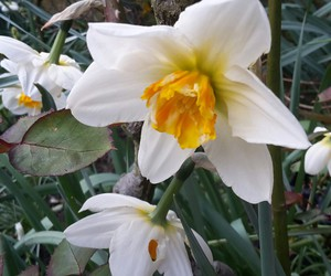 daffodil, flowers, and spring image