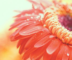 flower, orange, and nature image