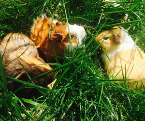 guinea pigs and baby guinea pig brothers image